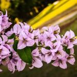 Violet-Bougainvillea-Flowers